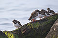 Ruddy Turnstones (Arenaria interpres) (15714612723).jpg