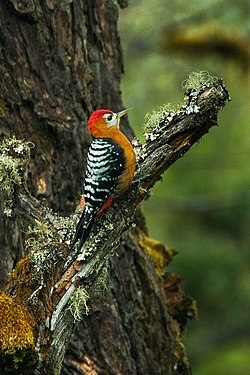 Rufous-bellied Woodpecker - Bhutan S4E8773.jpg