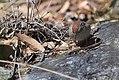 Rufous-crowned Sparrow (33977913416).jpg
