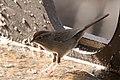 Rufous-crowned Sparrow Santa Rita Lodge Madera Canyon AZ 2018-02-17 15-58-26 (38772515540).jpg