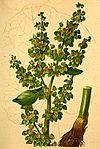 Rumex alpinus Atlas Alpenflora.jpg