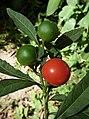S. pseudocapsicum-fruto-1.JPG