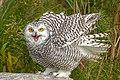 SNOWY OWL, Canada.jpg