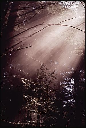 SUNLIGHT ON YOUNG PINE - NARA - 542931