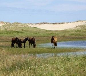 Sable Island - Sable Island horse