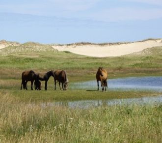 Sable Island horse - Typical colour patterns