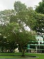 Sacred fig (Ficus religiosa), College Green, Singapore Management University - 20131209.jpg