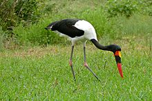 Saddle-billed Stork (Ephippiorhynchus senegalensis) male (16145490133).jpg