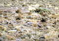 Sage-grouse (15735676876).jpg