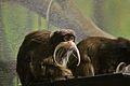 Saguinus imperator at the Denver Zoo-2012 03 12 1001.jpg