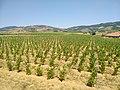 Saint-Laurent-d'Oingt - Parcelle de vignes (juil 2020).jpg
