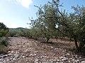 Saint-Maurice d'Ardèche - Champ d'oliviers.jpg