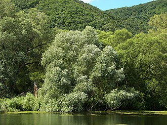 Salix alba - Tree showing whitish foliage compared to surrounding trees