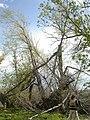 Salix amygdaloides (4018710212).jpg