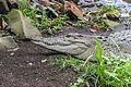 Saltwater crocodile (Crocodylus porosus), Gembira Loka Zoo, 2015-03-15 02.jpg