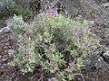 Salvia dorrii shrub-5-19-05.jpg