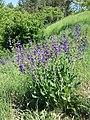Salvia pratensis (subsp. pratensis) sl7.jpg