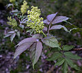 Sambucus racemosa clustered elder-tree.jpg