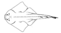10 / Angel shark