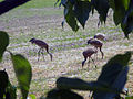Sandhill cranes at Creamer's Field Refuge.jpg