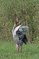 Sarus Crane Pair (42840521330).jpg