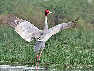 Sarus crane - Displaying (Hodal, India)