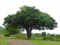 Sausage Tree (Kigelia africana) (11733084614).jpg