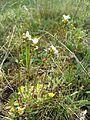 Saxifraga granulata sl2.jpg