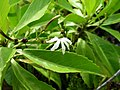 Scaevola chamissoniana (5209525549).jpg