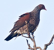 Scaled Pigeon.jpg