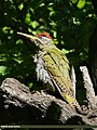 Scaly-bellied Woodpecker (Picus squamatus) (23128204590).jpg