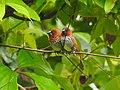 Scaly breasted munia -kannur@kattampally birds - 9.jpg