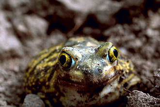 American spadefoot toad - Image: Scaphiopus couchii Stolz
