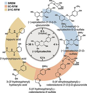 Catechin - Image: Schematic representation of (−) epicatechin metabolism in humans as a function of time post oral intake