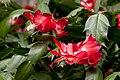 Schlumbergera truncata (1).jpg