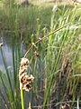 Schoenoplectus lacustris sl15.jpg