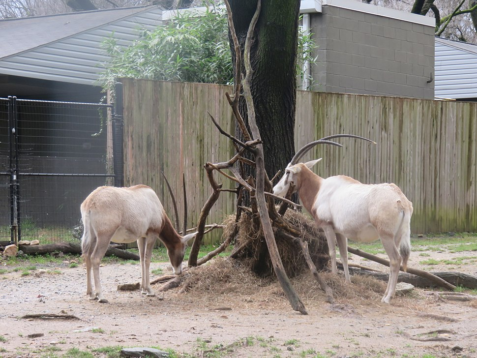 Scimitar horned oryx at the national zoo