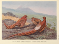 Scintillating and Ijima's Copper Pheasant by George Edward Lodge.png