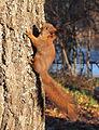 Sciurus vulgaris in Finland.jpg