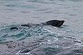 Seal (19965900186).jpg