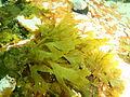Seaweeds at Lorry Bay PB012119.JPG