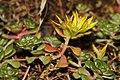 Sedum spathulifolium 3507.JPG