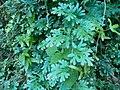 Selaginella uncinata (天問).jpg