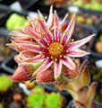 Sempervivum flower 01.jpg