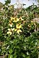 Senecio angulatus kz2.jpg