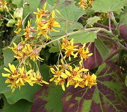 Senecio petasitis Blüte.jpg