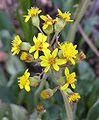 Senecio wootonii flowers 2.jpg