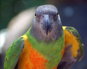 English: Senegal Parrot (Poicephalus senegalus...