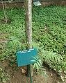 Senna spectabilis - Arusha gardens.jpg