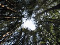 Sequoia Sempervirens Ring.JPG
